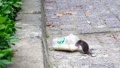 Rat drinking